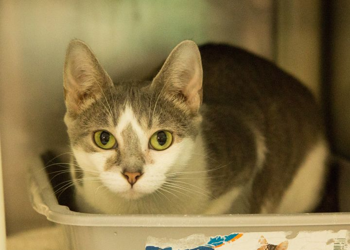 SWEETIE, an adopted Domestic Short Hair in Cape Girardeau, MO