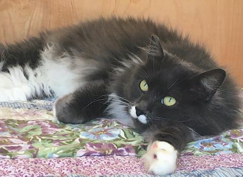Mustachio, an adoptable Domestic Long Hair Mix in Springfield, OR
