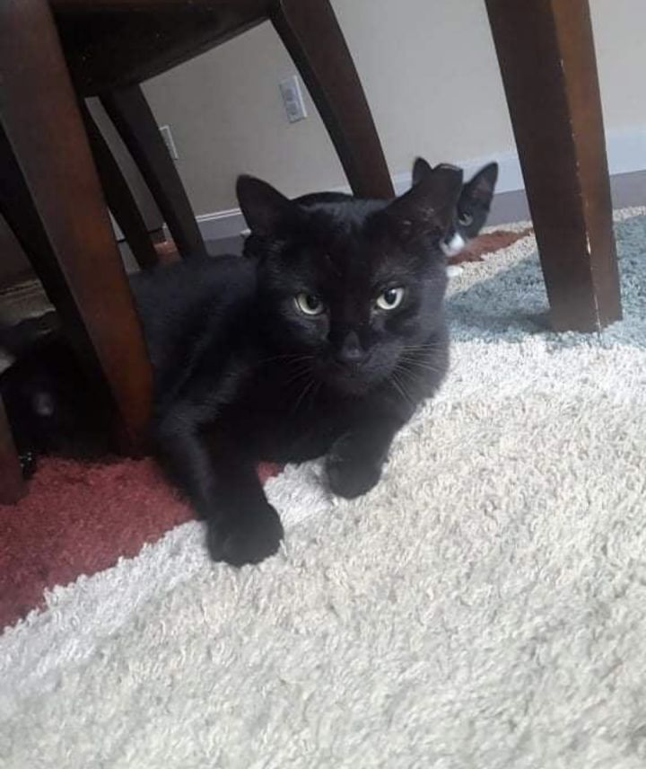 Baby, an adoptable Domestic Short Hair in Warwick, RI