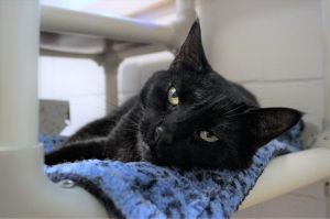 Florence Nightingale is a female black cat who we think is about four years old She was brought to