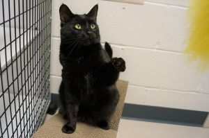 Florence Nightingale is a female black cat who we think is about four years old