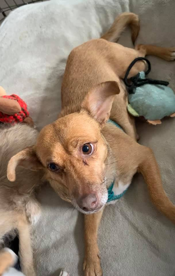 Annie Belle, an adoptable Chihuahua & Terrier Mix in Kentwood, MI