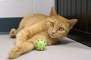 Charlotte is a one year old female orange tabby who was brought to us from West Virginia She is a