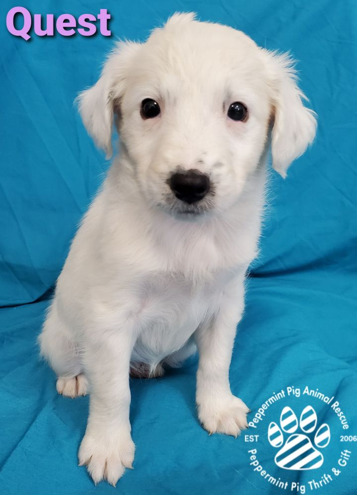 Quest ADOPTION PENDING, an adopted Dalmatian & Airedale Terrier Mix in Cincinnati, OH