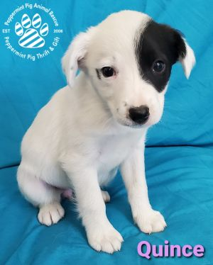 Quince ADOPTION PENDING