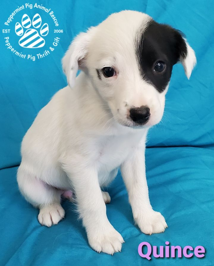 Quince ADOPTION PENDING 1