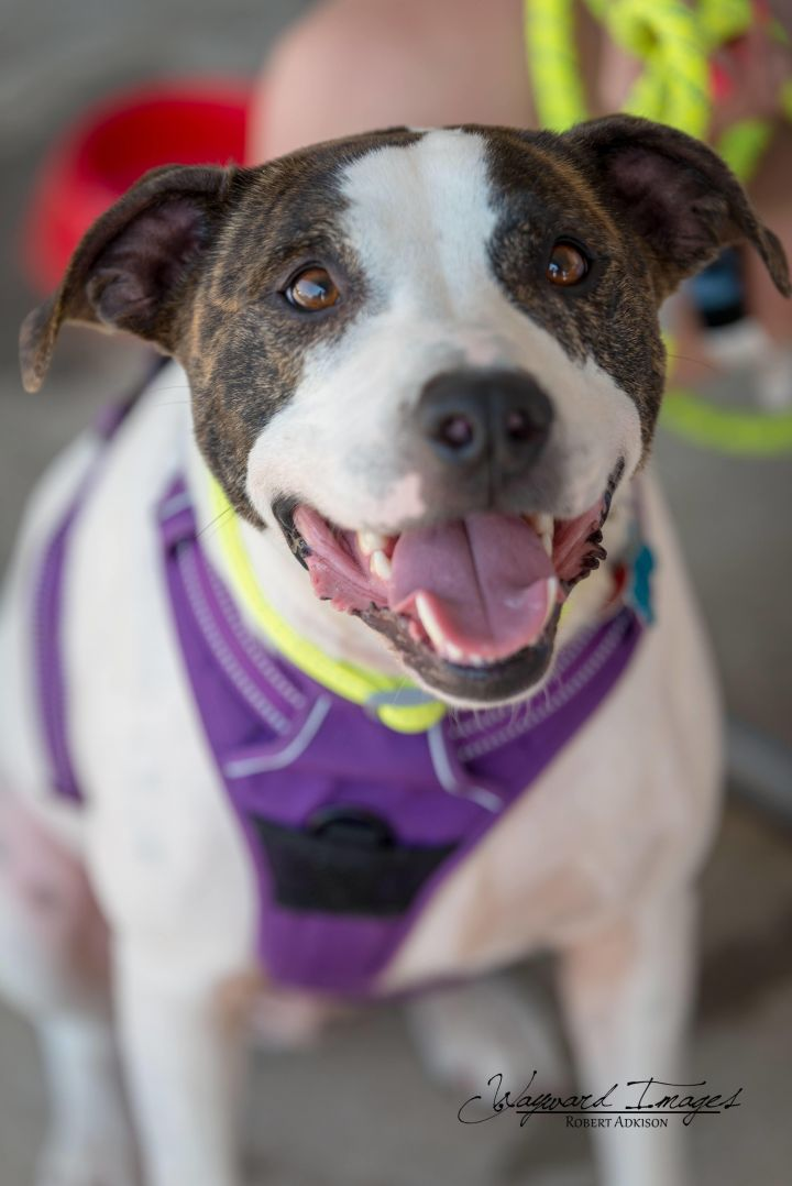Bubbles, an adoptable Staffordshire Bull Terrier Mix in Springfield, MO