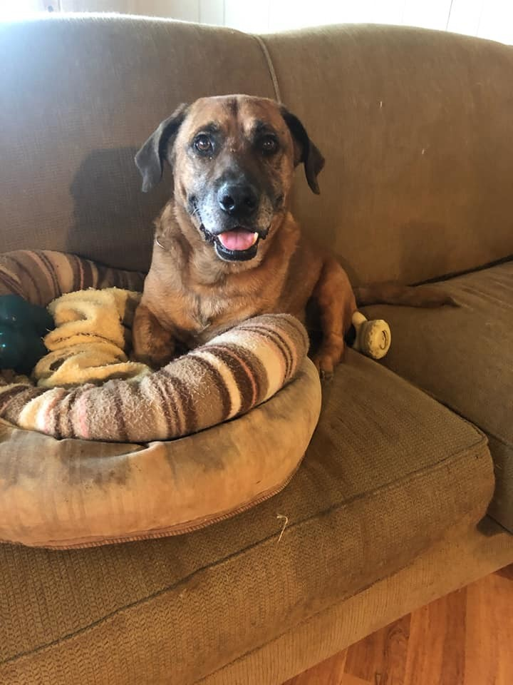 Corky, an adoptable Basset Hound & Shepherd Mix in Knoxville, TN