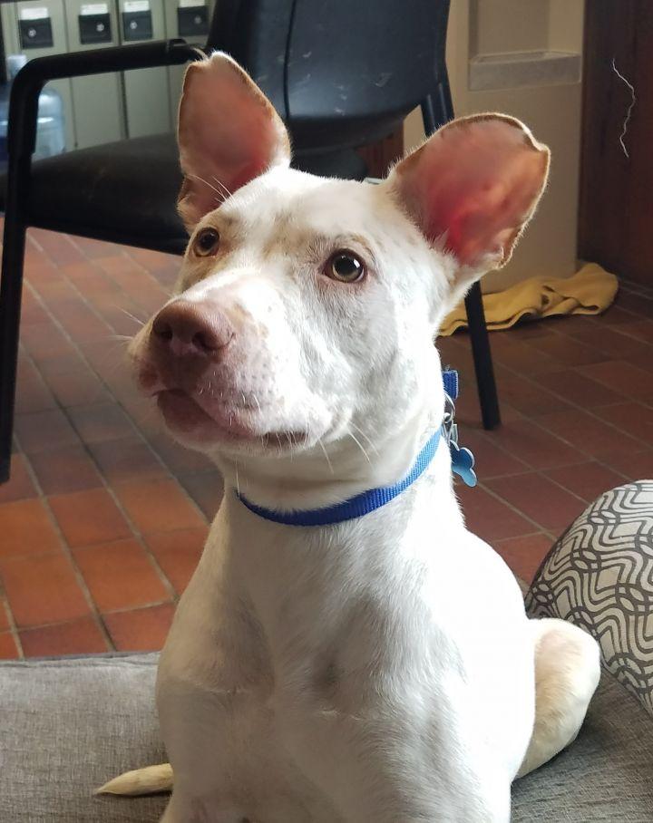 DJ, an adoptable Australian Cattle Dog / Blue Heeler in Des Moines, IA_image-1