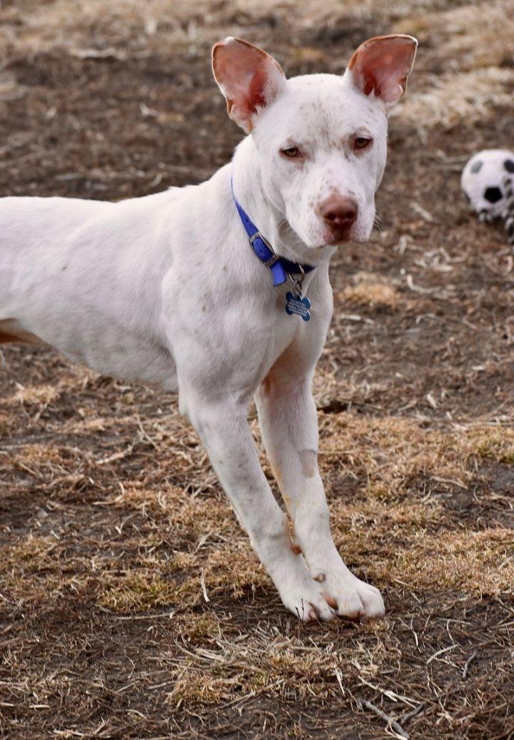 DJ, an adoptable Australian Cattle Dog / Blue Heeler in Des Moines, IA_image-3