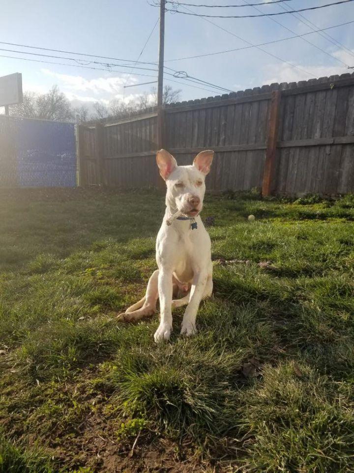 DJ, an adoptable Australian Cattle Dog / Blue Heeler in Des Moines, IA_image-5