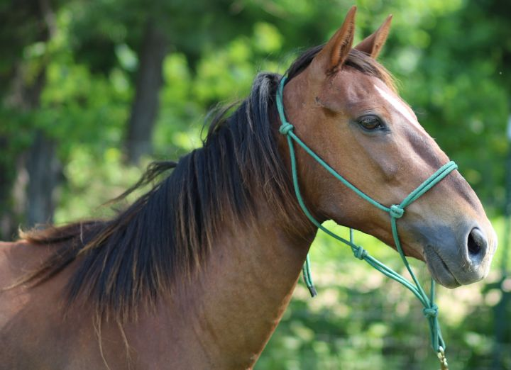 Chilli, an adopted Paso Fino in Hohenwald , TN