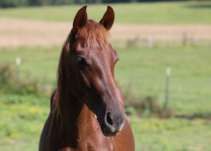 Mey, an adoptable Rocky Mountain Horse in Hohenwald , TN