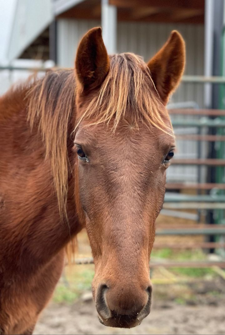 Mey, an adopted Rocky Mountain Horse in Hohenwald , TN_image-1