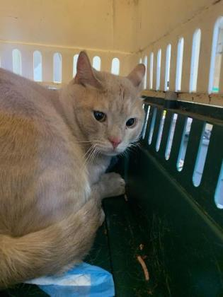 charlie, an adoptable Domestic Short Hair in Clarks Summit, PA