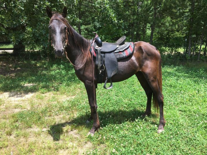 Rosebud, an adoptable Tennessee Walker in Hohenwald , TN