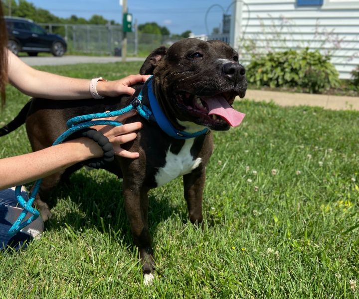 Brinx, an adoptable American Staffordshire Terrier Mix in Queenstown, MD