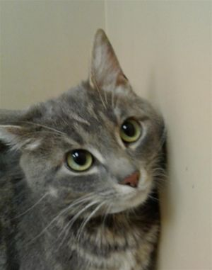 Primary Color Grey Tabby Weight 65625lbs Animal has been Spayed
