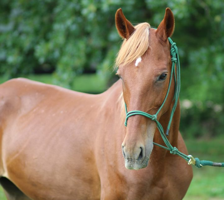 Roselind, an adoptable Saddlebred in Hohenwald , TN