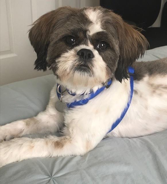 Dog for adoption - Cooper, a Shih Tzu in Greensboro, NC | Petfinder