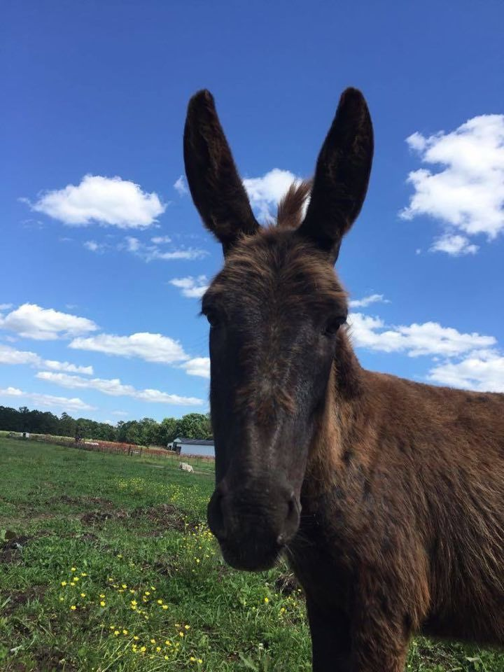 Britney, an adopted Donkey in Hohenwald , TN