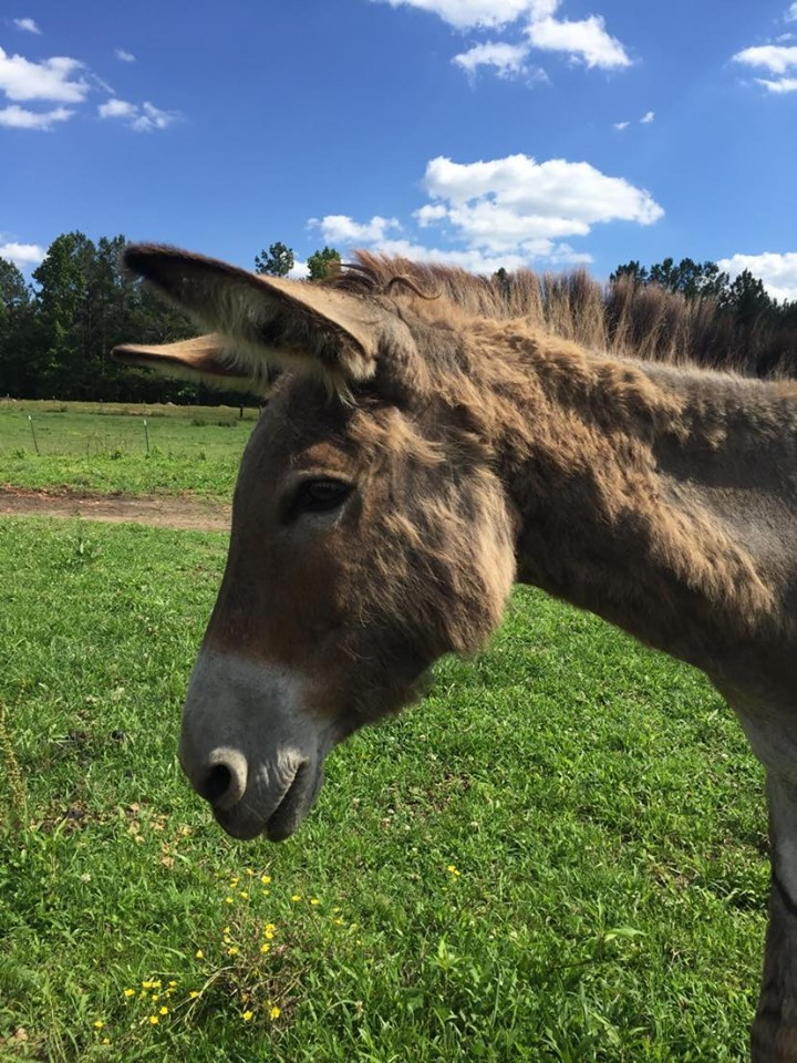 Belle, an adopted Donkey in Hohenwald , TN