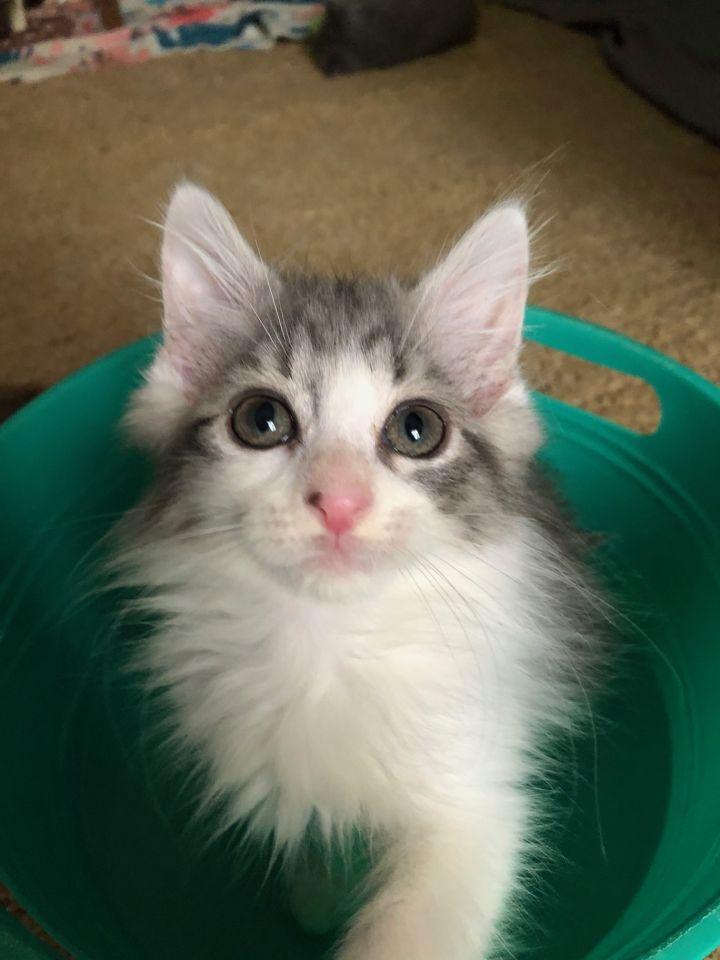 Meeko, an adoptable Domestic Long Hair Mix in Waxhaw, NC