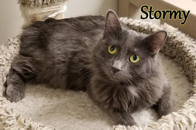 Stormy, an adoptable Domestic Short Hair in Las Vegas, NV