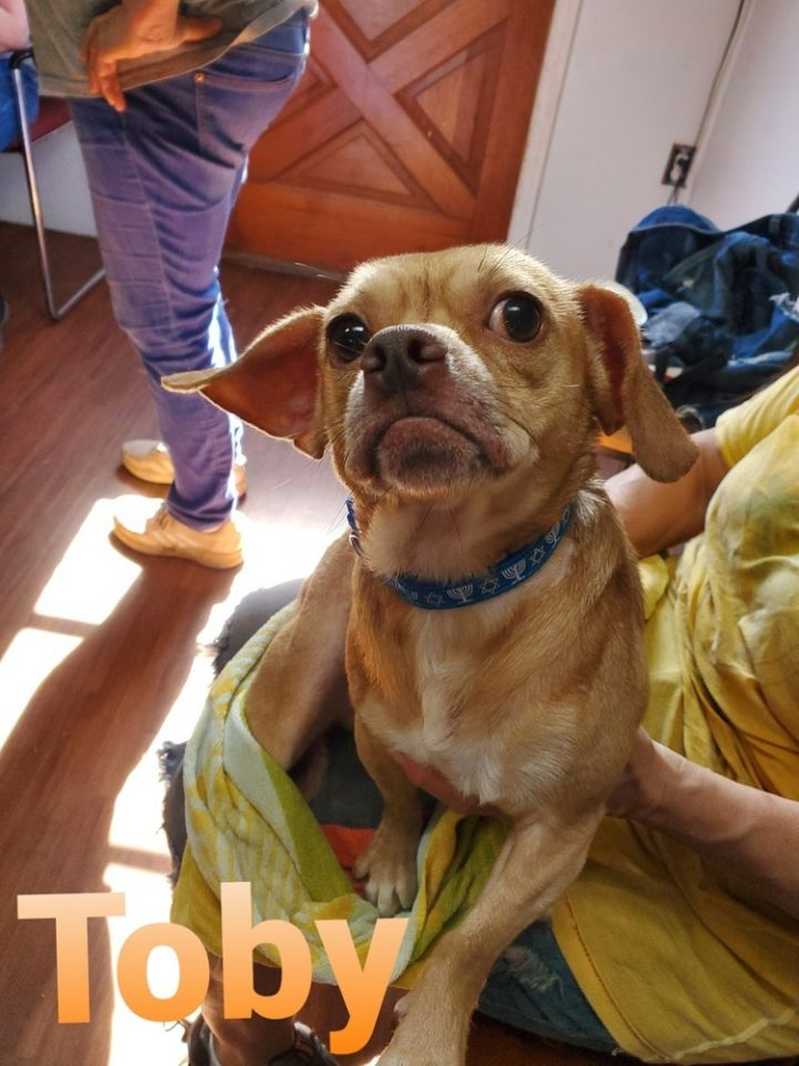 TOBY, an adoptable Pug Mix in Dallas, PA