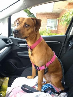 You can fill out an adoption application online on our official websiteDaisy is a female Boxer mix