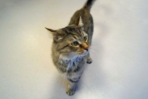 Fuji is a male tabby who was brought to us when his previous owner could no longer care for him