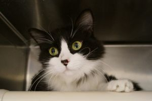 Sasha is a two year old black and white long hair cat who was brought to us from West Virginia