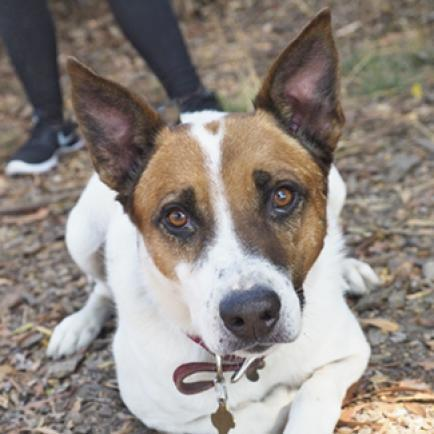 FLETCHER, an adoptable Australian Cattle Dog / Blue Heeler & Jack Russell Terrier Mix in Point Richmond, CA