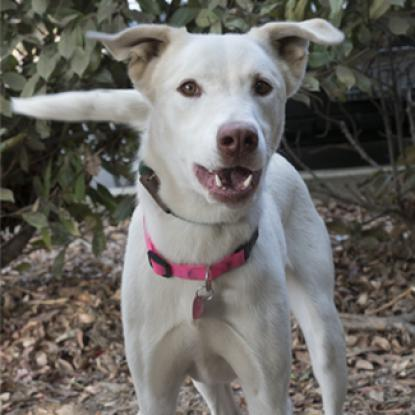 PEARL, an adoptable Labrador Retriever & Cattle Dog Mix in Point Richmond, CA