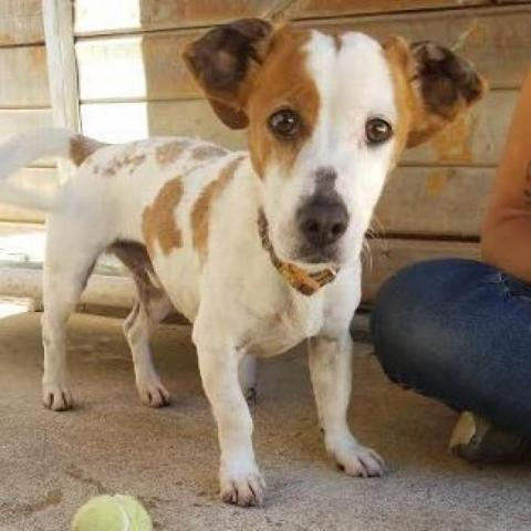OLLIE, an adoptable Jack Russell Terrier in Point Richmond, CA