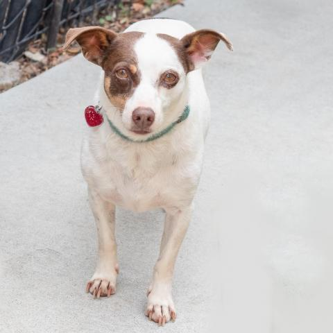 GROMMET, an adoptable Chihuahua & Terrier Mix in Point Richmond, CA