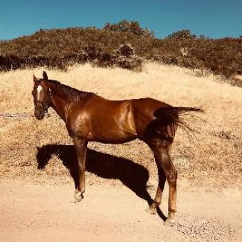 HARLEY, an adoptable Quarterhorse in Point Richmond, CA