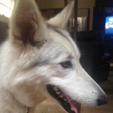 NALA S, an adoptable Siberian Husky in Point Richmond, CA
