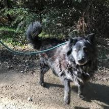 SHADOW, an adoptable Australian Shepherd & Australian Cattle Dog / Blue Heeler Mix in Point Richmond, CA