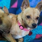 GIDGET, an adoptable Chihuahua & Terrier Mix in Point Richmond, CA