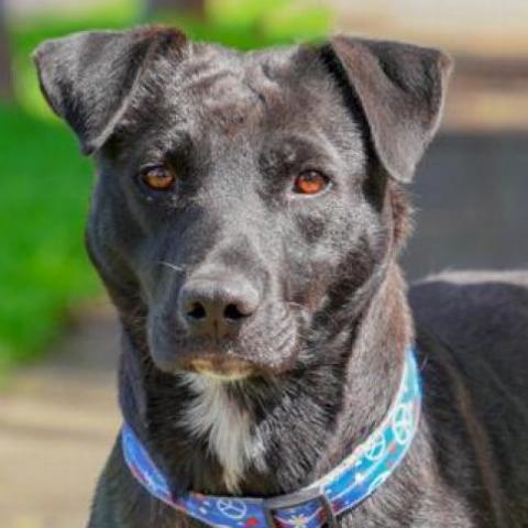 MELODY, an adoptable Labrador Retriever & American Staffordshire Terrier Mix in Point Richmond, CA