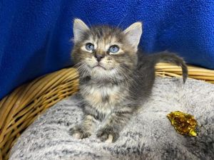 Blair 41351 is a 8-10 week old female dilute calico that is looking for a new home She was found
