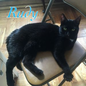Darling Rudy is your ultimate lap cat and companion if youre looking for a buddy who will always be