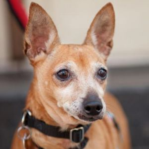 Sandy is an affectionate couch potato Though she does love to go for walks she equally loves curlin