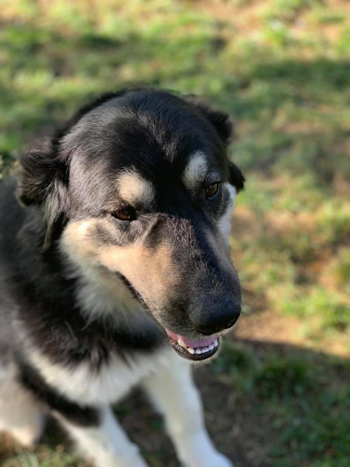 Emmy, an adoptable Shepherd & Great Pyrenees Mix in Manhattan, KS