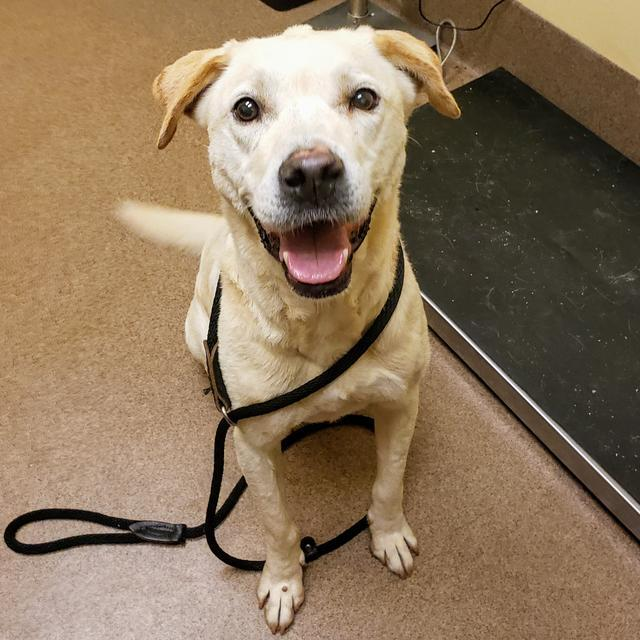 PAULY, an adoptable Retriever in Florence, SC