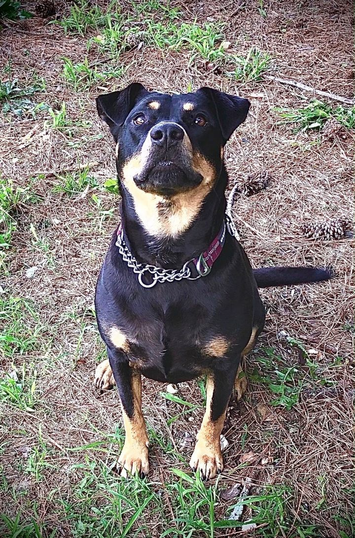 Blinken, an adopted Rottweiler Mix in Smithfield, NC