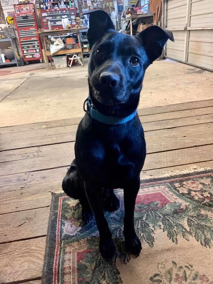 Ryder, an adoptable Labrador Retriever & Jack Russell Terrier Mix in Conover, NC