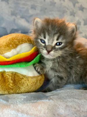 Big Mac Domestic Medium Hair Cat
