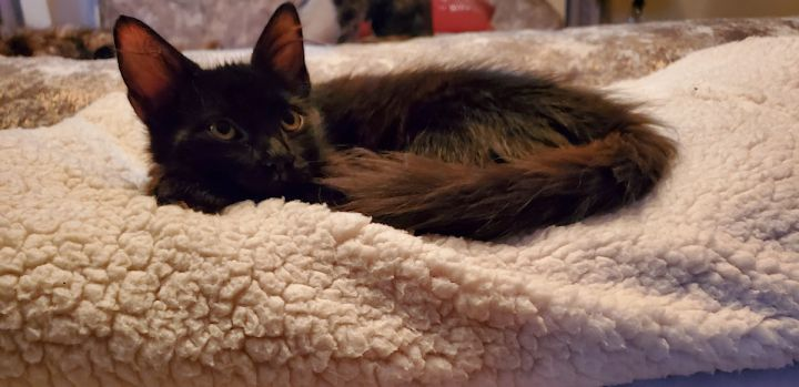Rory, an adoptable Maine Coon & Bombay Mix in Mission Viejo, CA